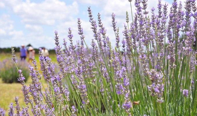 Lavender Festival!