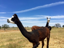Llama friends. Wild Horse Winery. Templeton, CA, May 2016